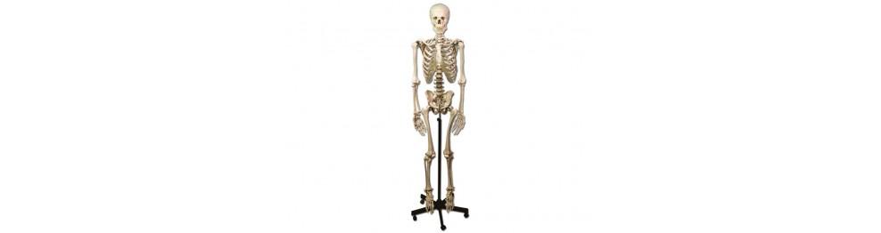 Scheletro, colonne, cranio
